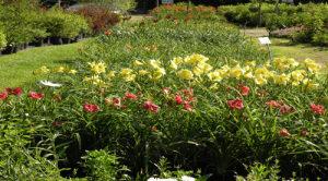 Daylilies (Retail) 500 x 278