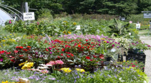 Summer Annuals Retail 500 X 278