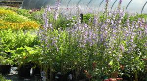 Summer Perennials 500 X 278